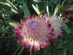 Variety of Proteas
